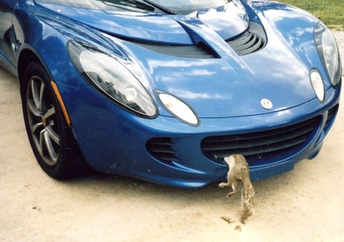 Squirrel vs lotus elise in grill