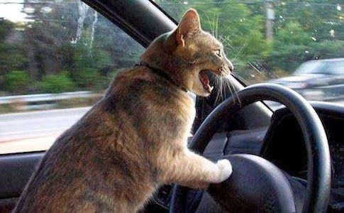 angry driver cat