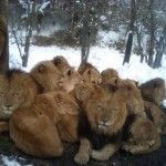 Lions in the Snow – Global Warming strikes again