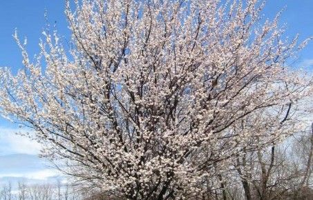 Pretty Cherry Tree Blossoms in Maryland