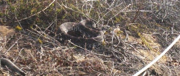 Ever been face to face with a Rattle Snake?