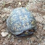 Eastern Box Turtle – Terrapene Carolina – Time to come out of your shell