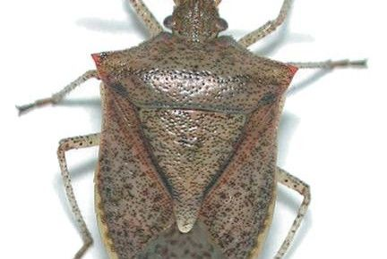 Stink Bugs will be knocking at your door soon – Kill them Safely